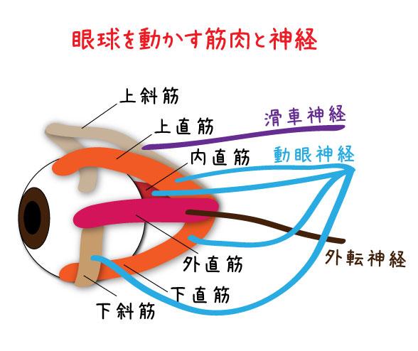 眼球と筋肉